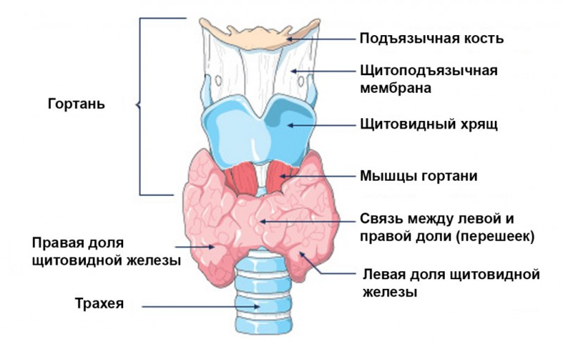 Норма объема щитовидной железы у женщин