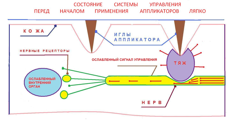 Механическое воздействие аппликатора Ляпко на нервы и органы