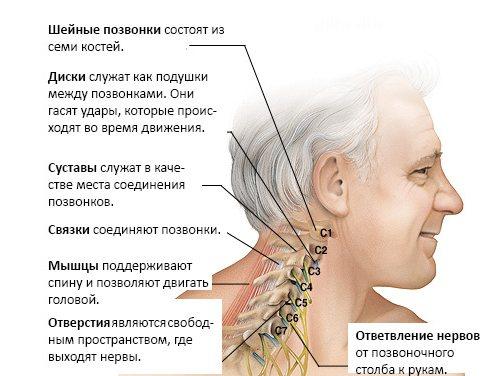 Анатомическое строение шейного отдела позвоночника